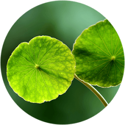 Ingredient - Gotu Kola
